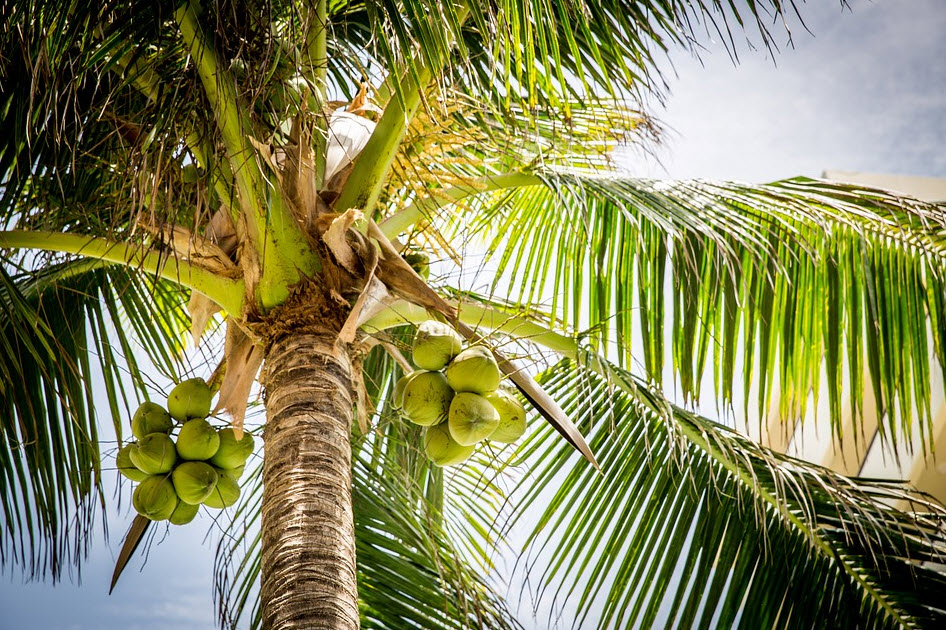 coconuts hanging on a tree